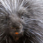 Porcupine bad hair